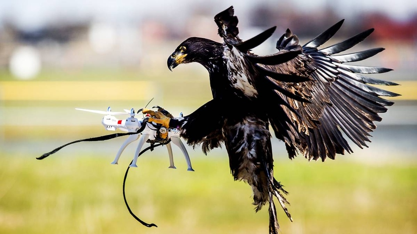 The Dutch police closed up the program for training of eagles interceptors for capture of undesirable drones